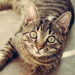 Tabby cat staring at the camera