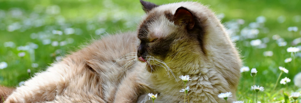 Cat lying on the grass and licking its lips