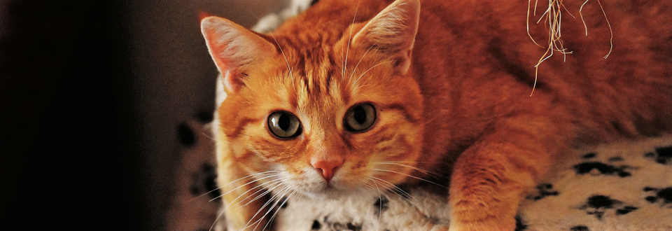 Ginger cat on stool looking at camera
