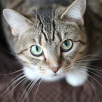 Tabby Cat Green Eyes Looking Up