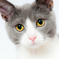 Grey and white cat looking at camera